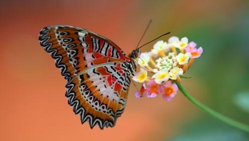 动物百科:毛毛虫变蝴蝶的过程是什么?