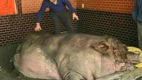 一头猪一辈子不杀,最终能养成多大?看完简直刷新三观