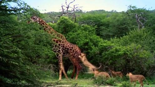 被一群狮子撕咬4小时,一直淡定吃树叶的长颈鹿,终于反击了