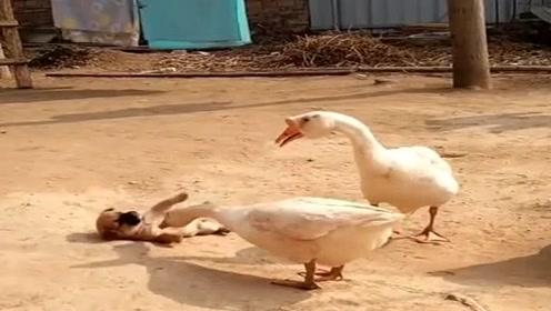 大鹅欺负小奶狗,不料却被狗妈妈发现,这下有好戏看了!