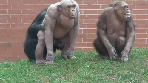 两只大猩猩火了,女游客看后表示:和没穿衣服一样,太尴尬了!