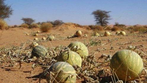 """为什么沙漠中的""""西瓜""""不能吃?更不能""""碰""""?吃了你就后悔!"""