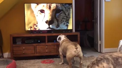 狗狗第一次看动物世界,看到猎豹直接扑了过去,前方高能可别笑