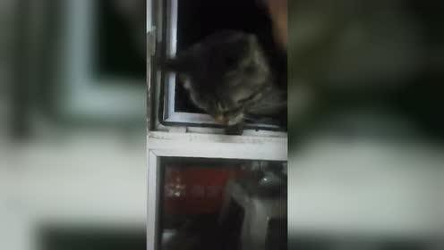 猫猫大晚上爬窗回家!窗户太高了!这试探的小动作可爱极了!