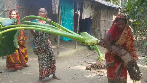 """美国农民有""""巨菜谷""""印度农民也不示弱,种出了一百多斤的大芋头"""