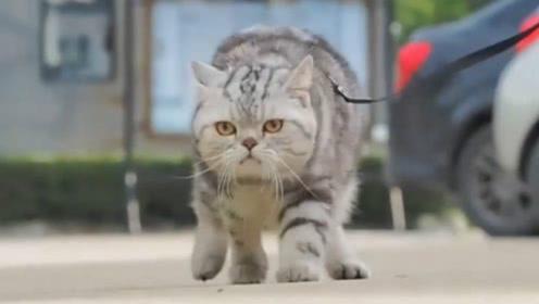 猫咪跟老虎呆久了,走起路来六亲不认,网友:魔鬼的步伐!