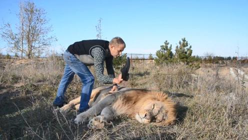 狮子正在睡觉,男子脱掉皮鞋,打在雄狮的脸上,意外的事情发生了