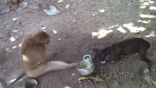 猴子和狗打架,竟然想出了这些方式来进攻,赤裸裸的智商压制!