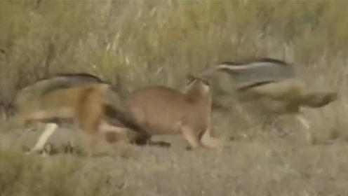 太刺激了!一猫战3狼,先弄死一只边吃边和另外两只打架?