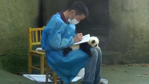 """全球最可爱的""""桌垫"""",大概只有熊猫饲养员敢用,网友:萌化了!"""