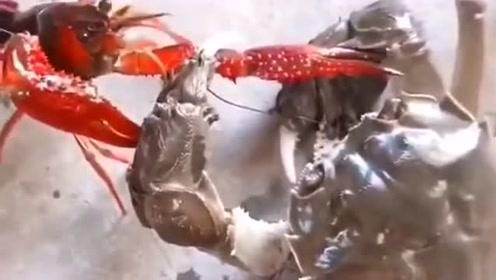 螃蟹和龙虾大战,都是有钳子的生物,心底里谁也不服谁!