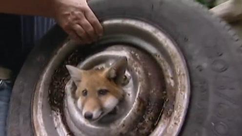 狐狸被困轮胎苦苦挣扎,男子救助后,几年后意想不到的事情发生了