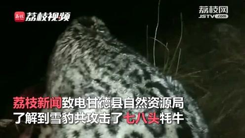青海牧民拍下雪豹啃食牦牛全程画面