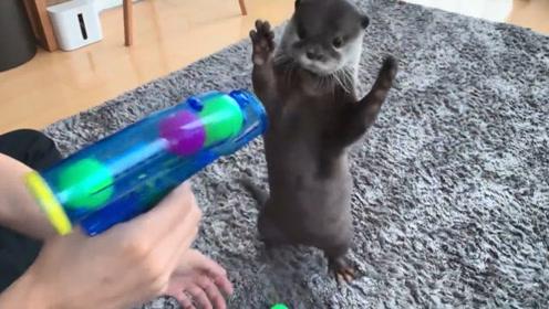 小水獭太萌了,主人拿起枪喊不许动!水獭立马举手投降