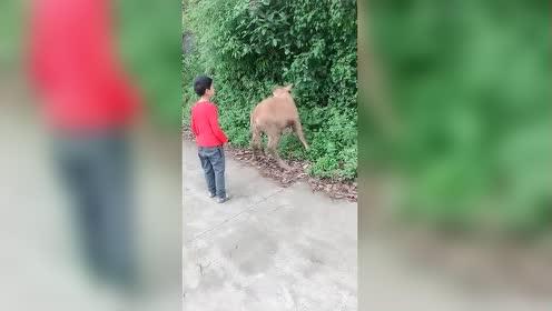 宝贝叫我跟他拍!结果差一点摔到牛粪里面去了!