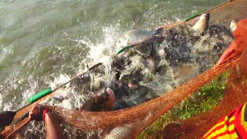乡亲们集体拉网捕鱼,结果网中沸腾不止,这一网估计有上百斤大野货