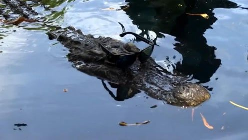 小伙在水底与鳄鱼共舞!胆大包天,鳄鱼:早上吃多了现在不饿