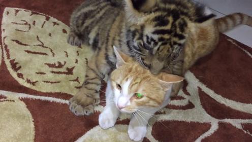 老虎第一见看见猫咪,两个动物的反应太激烈,忍不住笑了