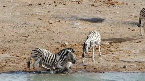 动物教育孩子太恐怖了,小斑马被父亲暴虐,按到水里长达三分钟