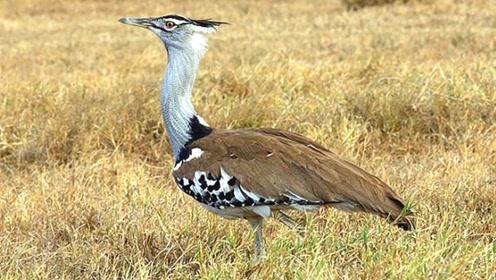 体型最大的飞鸟,体长1米却只有25斤,如今濒临灭绝!