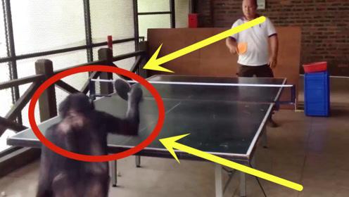 """老外教猩猩打乒乓,结果反被""""完虐"""",不是监控谁信!"""