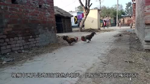 家里两公鸡打架斗狠,狗子急了上前拉架,主人笑得不可开交