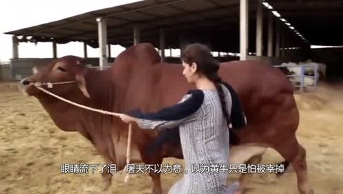 黄牛被拉进屠宰厂突然跪地流泪,剖开它的肚子后,众人惊呆