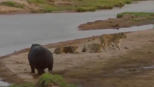 狮子围攻河马,河马:以后,陆上王者之称还是给我吧