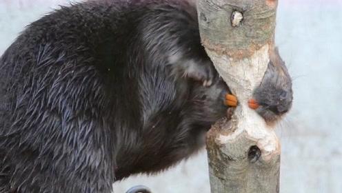 河狸咬断直径10cm树要用多久?门齿犹如电锯,快到让人佩服