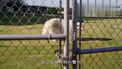 动物园中的小北极熊第一次见到冰块!高兴地场面一发不可收拾
