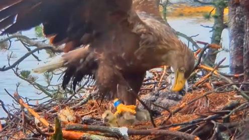 动物世界有多残酷?老鹰将雏鸟拔毛活剥,还没破壳成了下菜饭!