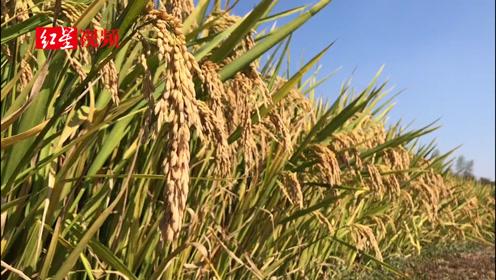 第三代杂交水稻进行首次专家测产 22日公布结果