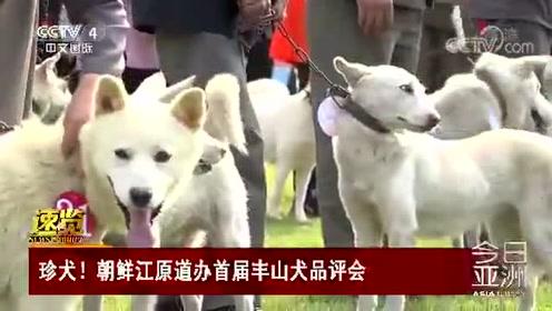 珍犬!朝鲜江原道办首届丰山犬品评会