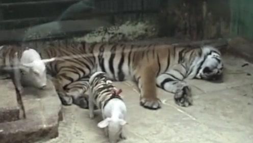 母虎痛失幼崽后不吃不喝,工作人员找来小猪扮老虎,初生猪犊不怕虎