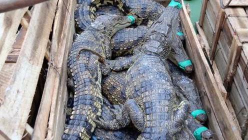 海关破获重大走私鳄鱼案,解救活体暹罗鳄806条!