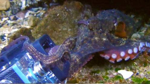 成精了!章鱼明抢潜水员相机不撒手