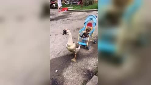 大鹅遛狗 狗子可舒服了 不用走路!