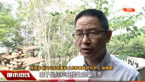 """超级""""萌宠""""!陕西三只秦岭大熊猫宝宝期待爱心认养"""