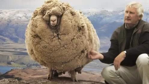 世上最丢脸绵羊,为不剪羊毛逃跑6年,最后拖50斤羊毛回来