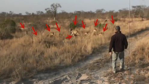 男子在草原上偶遇野生狮群,男子接下来的做法,堪称教科书级别的