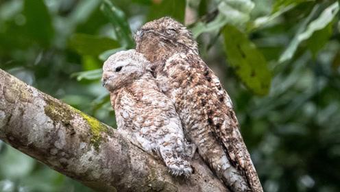 世界上有一种特殊的鸟,为了躲避天敌伪装成枯枝,一装就是一辈子