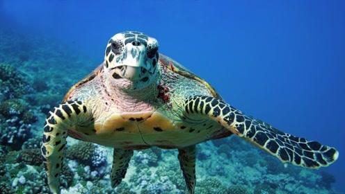 乌龟是如何进化出它的外壳的?缺失的一环揭露其真相