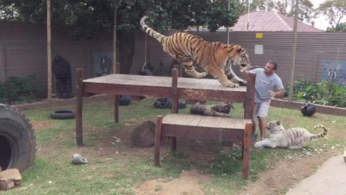 男子拿着瓶瓶奶准备喂老虎,没想到下一秒,差点就悲催了