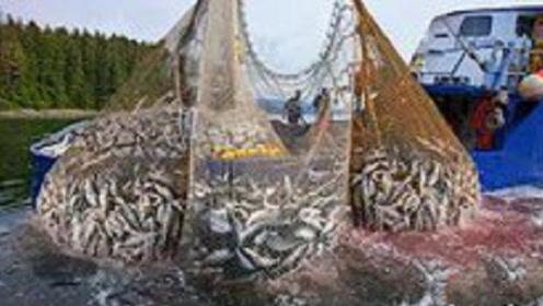 大型渔船捕捞三文鱼,一网拖上来,人差点被大鱼淹没
