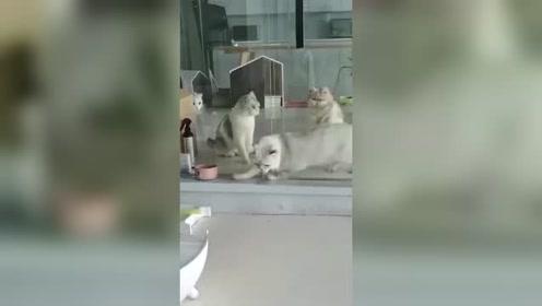 别说你没见过,就连后面三只猫都没见过