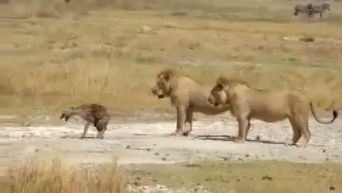 鬣狗被公狮咬断后腿,四驱变两驱逃跑:让你敢掏肛母狮子!