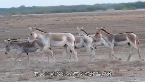 准噶尔现大型动物,外形像骡叫声像家驴,7只藏狐围攻拿它没办法