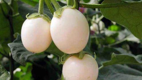 """外国农场出现""""鸭蛋树"""",树上长满鸭蛋,农民:从中国学的"""