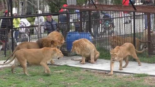 雄狮为了保护母狮,被一群狮子穷追猛打,依旧不肯让一步!