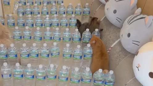 被困在矿泉水迷宫的猫咪,太可爱了吧